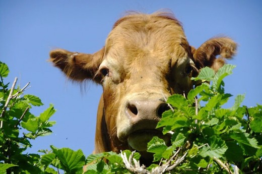 The sight of a cow contentedly grazing in a field is becoming less common as factory farms become more abundant.