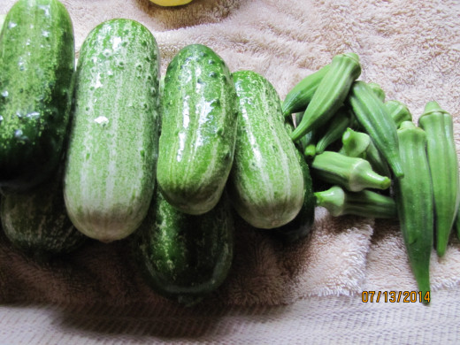 More pickling cucumbers and okra.  We have canned 30 pints of bread and butter pickles and 15 pints of dill pickles - and the plants are still producing!
