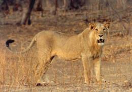 Lion at Gir