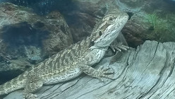 Bearded Dragons Are Awesome!