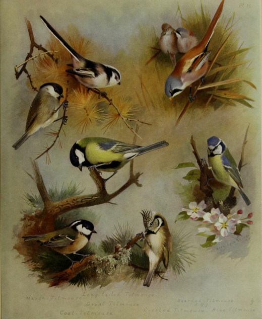 Illustration by Thorburn British Birds {180?}