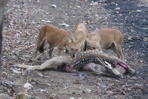 Wild Dogs on KIl