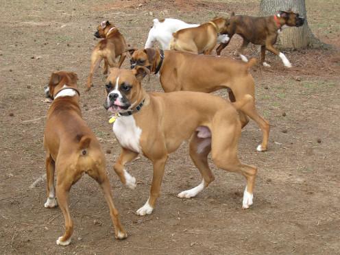 Boxers at a dog park