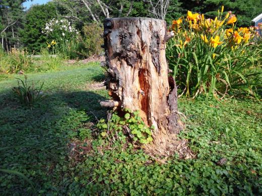 Rotting Blue Spruce trunk