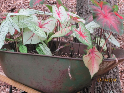 Caladiums, grown from bulbs, have a BIG impact in the garden and add lots of color and texture.