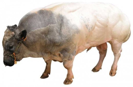 Male Belgian Blue