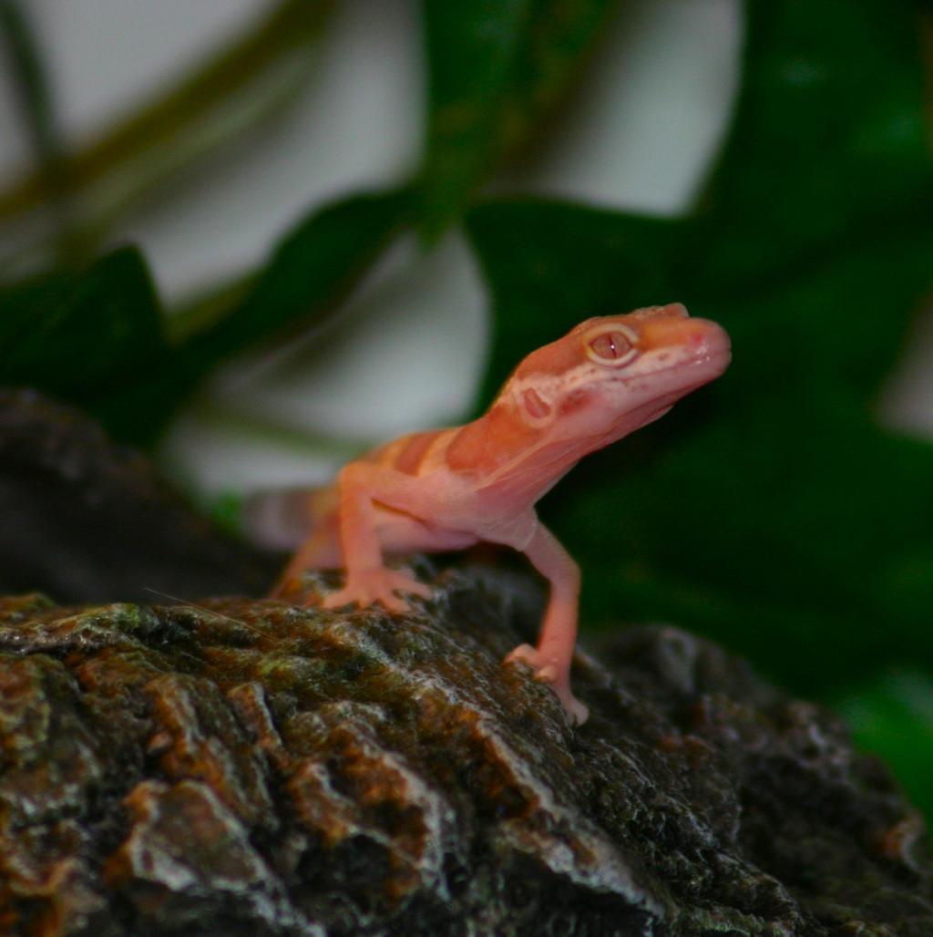 Leopard Geckos As Pets By Carla J Behr Hubpages