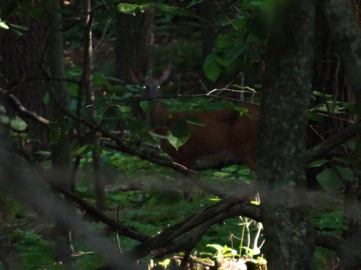 A deer trying to blend in after we saw it skipping around in the woods.