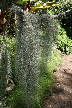 Spanish Moss at the McBryde Garden in Hawaii. Spanish moss has no roots, but absorbs moisture from the air to support photosynthesis.