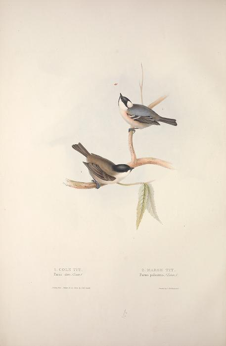 Birds of Europe -Gould 1837