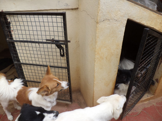 Each Of The Two Dog Kennels Is Large Enough For 3 Grown Dogs