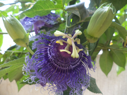 Fragrant Passiflora Near The Kennels Takes Care Of  Smells Of Dog Urine