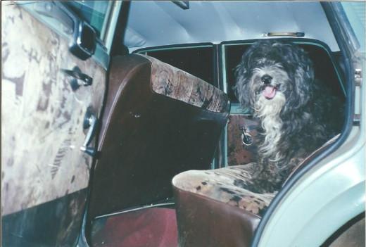 My Dog Rasputin Loved Car Rides - Here He Waits In My Fiat