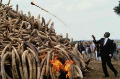 President Daniel arap Moi torches $3 million worth of poached ivory in 1989.