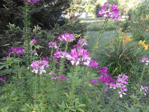 """""""Ghost"""" cleome"""