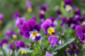 Medicinal Plants- The Wild Pansy