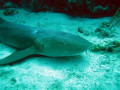 Most Dangerous Sharks - Shark Attacks