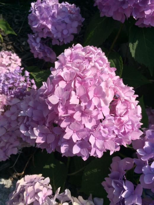 Pink Hydrangeea