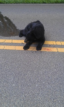 Upon arrival just moments after the bear cub was injured. He laid in a puddle of his own urine.