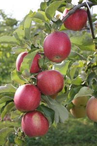 Apples on the tree ready to be picked