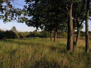 Oak trees in the meadow