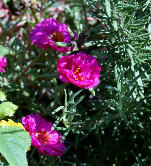 The portulaca in our mailbox garden blooms alongside rosemary and lantana.