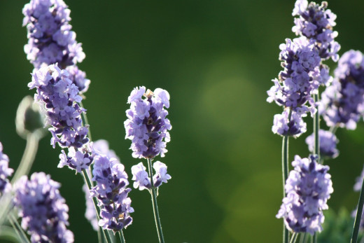 Best time to harvest your lavender flowers.