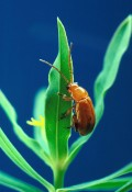 How to Get Rid of Flea Beetles