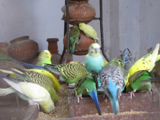 Group of love birds in Jaipur zoo