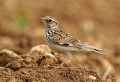 The Woodlark { Birds of Europe}