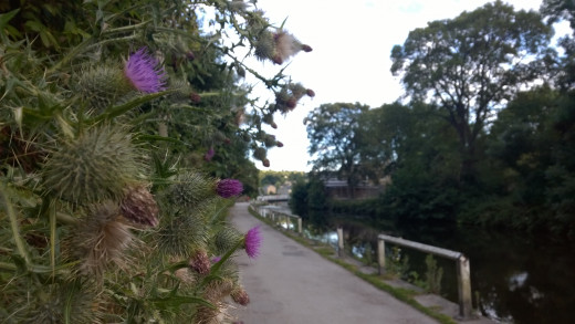 Thistles by the Bank 1520