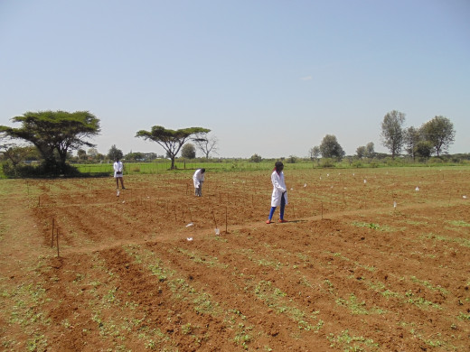 Dividing of plots for easy management by researchers at KARI Njoro
