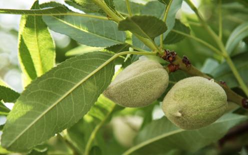 Almonds on an almond tree