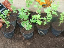 Goose berry plants growing in separate pots