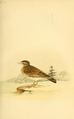 Meyer {1850} Coloured Illustrations of British Birds and their Eggs
