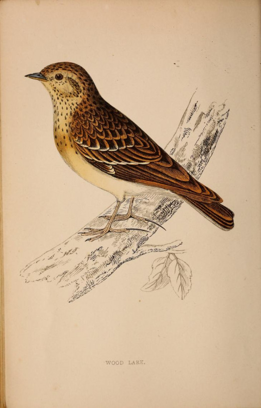 Morris --History of Birds 1862-67