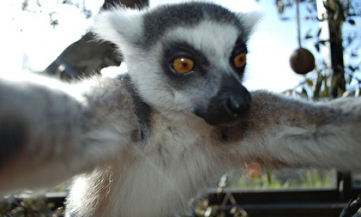 Selfie by the 12-year-old male lemur named Bekily.