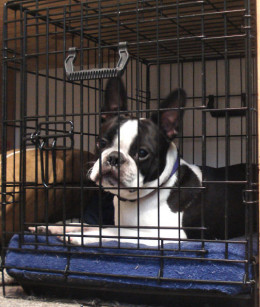 Booker (Boston Terrier) waiting patiently for his agility lesson.