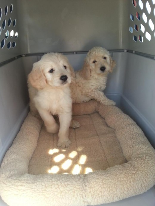 Goldendoodles can come in many different varieties.