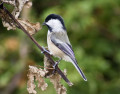 This Chickadee is Popular and the Call is Famous.