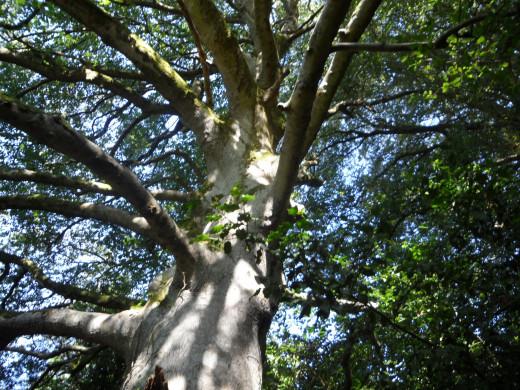 A Sunlit British Beech Tree