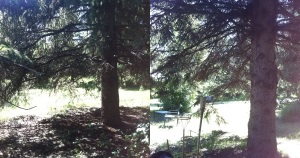 Trimming the lower branches from evergreen trees allows for the mowing of the lawn more easily.