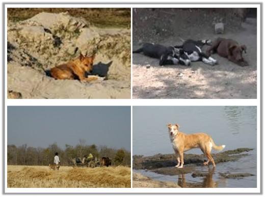 indianpariahdog.blogspot.com,www.yourepeat.com, indiansforguns.com