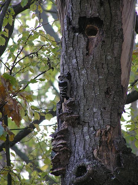 These holes were originally made by a lesser spotted woodpecker, but will be used by many other species, including starlings and tits.