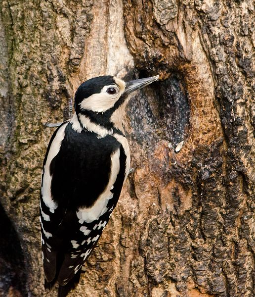 This female is foraging for grubs on a tree trunk. Its this kind of opportunistic feeding behaviour that can lead a woodpecker straight to a helpless clutch of nestlings.