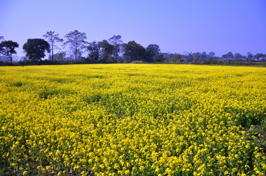 Agricultural farm in Meghalaya, north east state in India  near Shillong growing Mustard