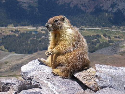 In areas of North America, such as the Pacific Northwest, the yellow bellied marmot is among the favoured prey items.