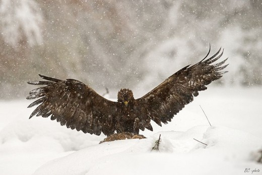 While golden eagles take plenty of live prey, carrion is also an important food source, especially for young birds in the winter.