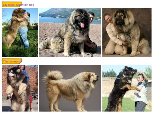 Caucasian Mountain Dog VS Tibetan Mastiffs
