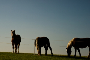 Three horses grazing in the meadow
